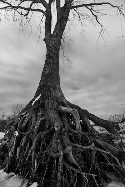 Racines à nu_Bare roots