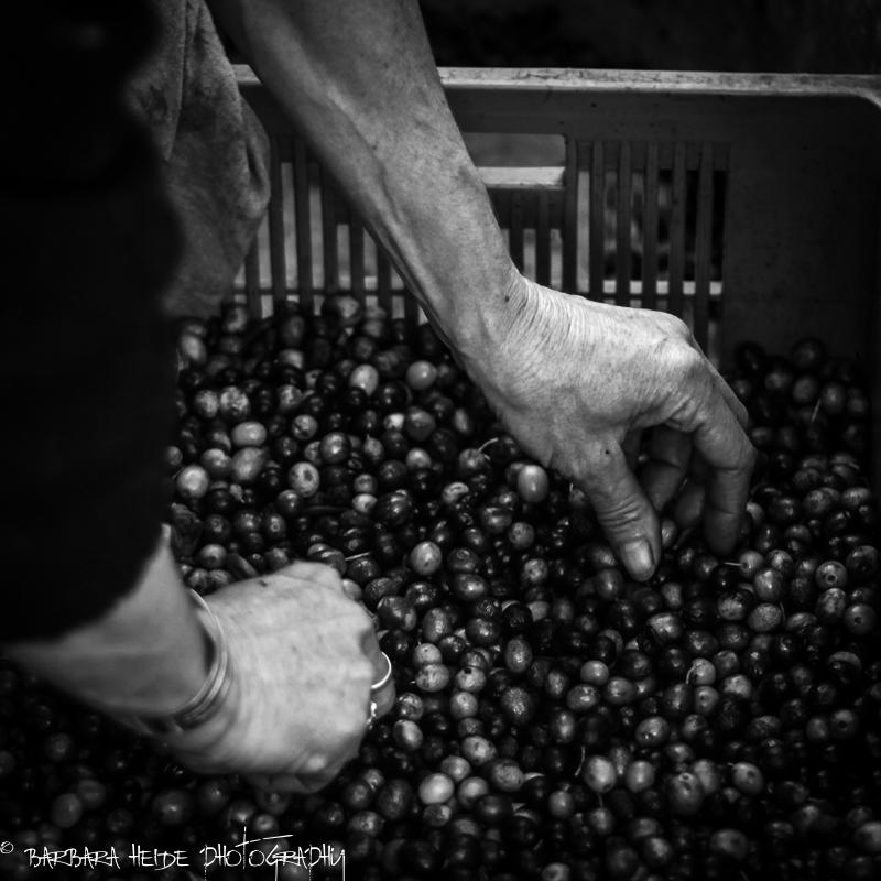 working hands (olives)
