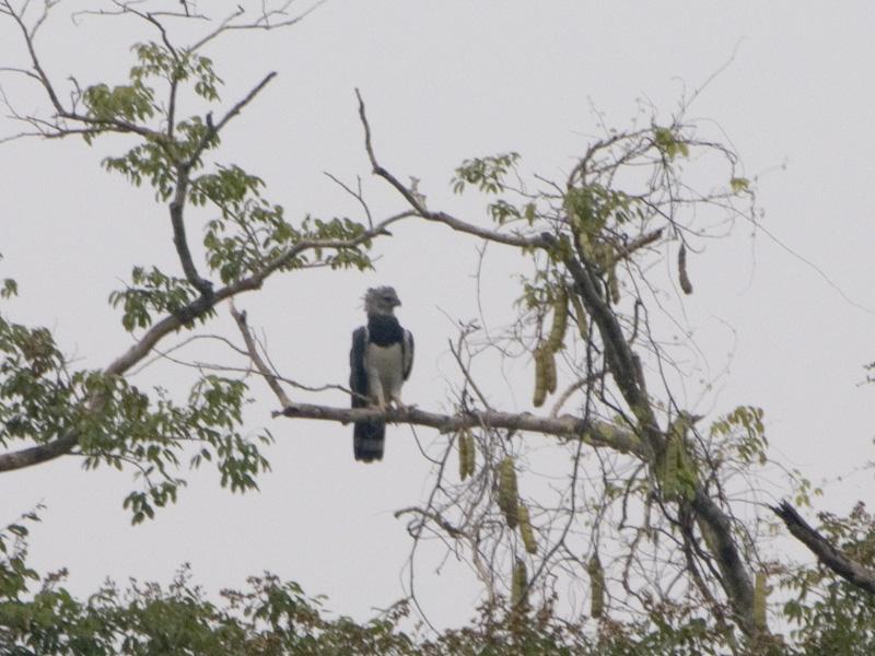 hhhhhh..... harpy eagle