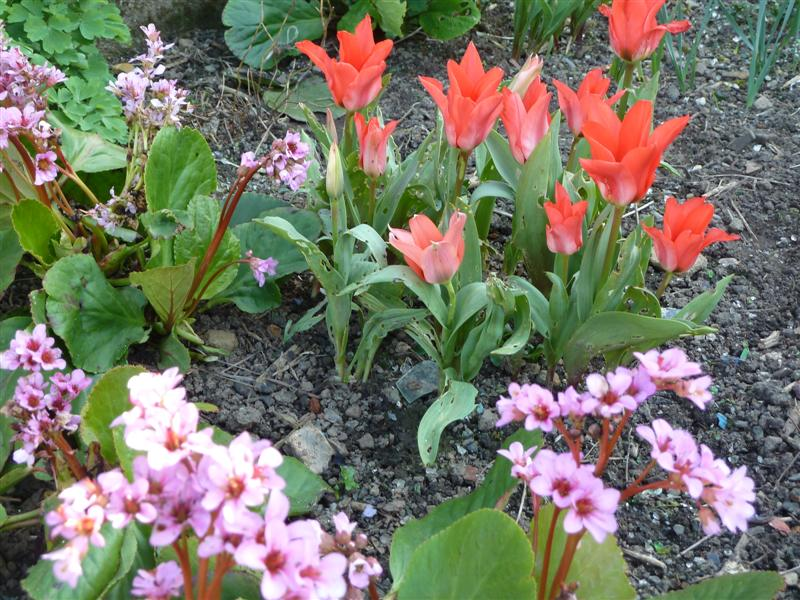The slugs are hard at work destroying my tulips