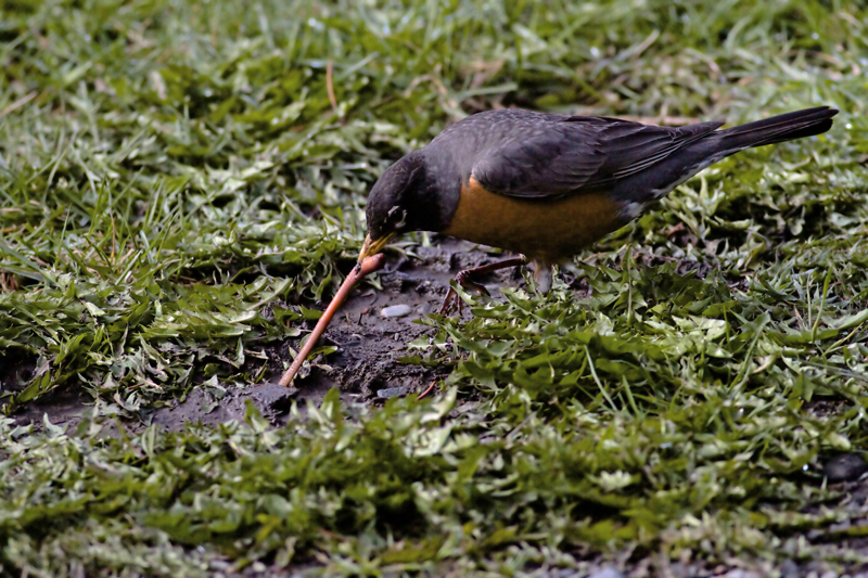 American Robin in tug-of-war with juicy worm(The worm lost)