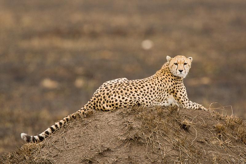 Cheetah Masai Mara 01.jpg
