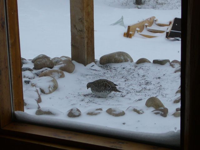 Sharp tailed Grouse at Feeder