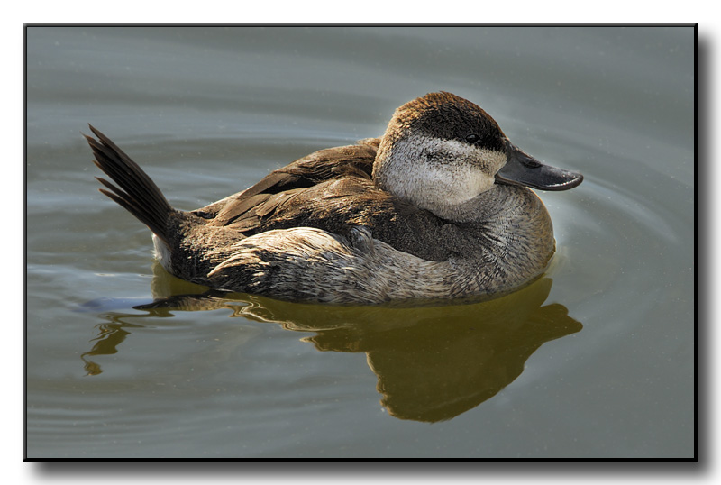 Ruddy Duck_001.jpg