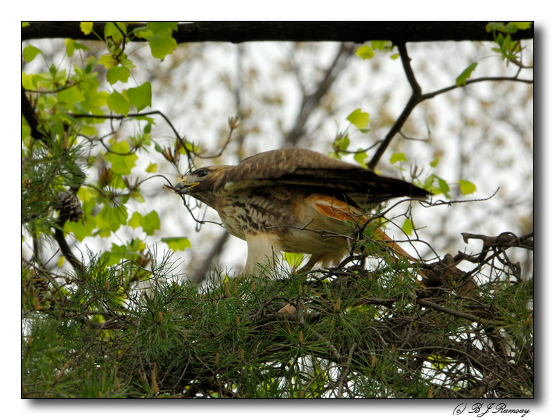 Red Tail Hawk collecting branches for a nest