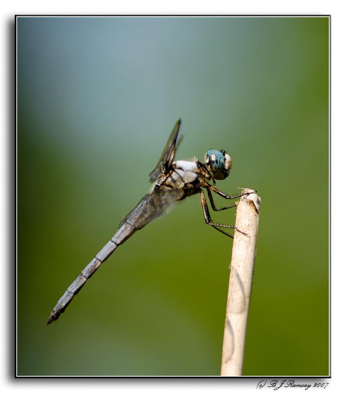 Great Blue Skimmer - Libellula vibrans