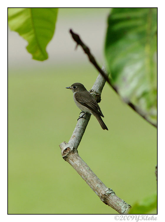 Asia Brown Flycatcher