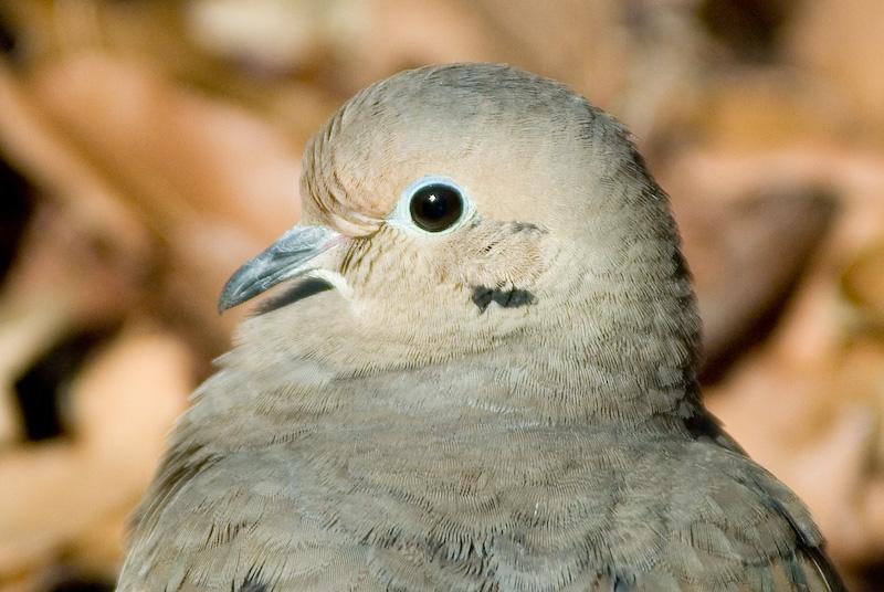 Plain Ol Mourning Dove