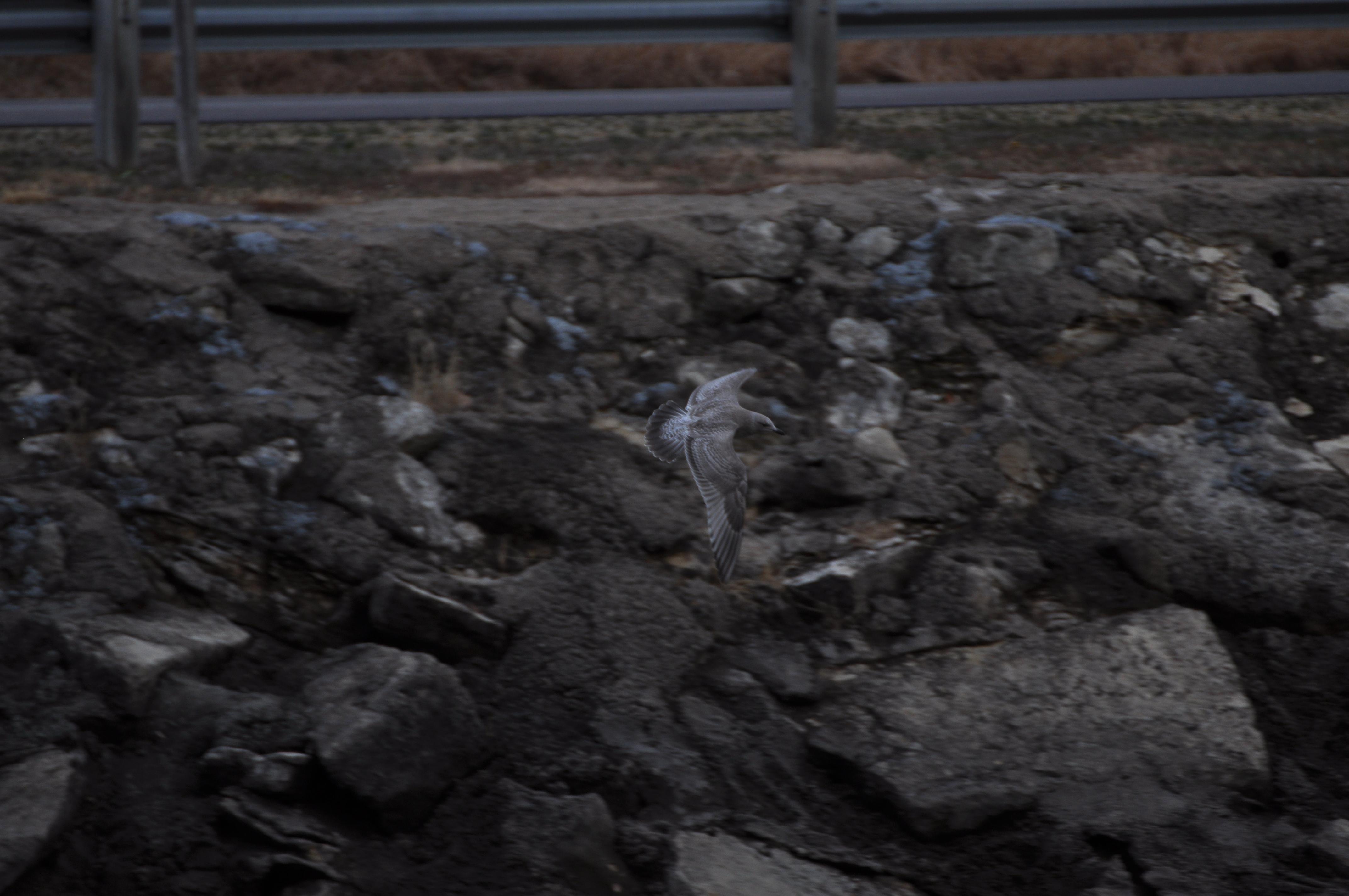 Thayers Gull-juvenile