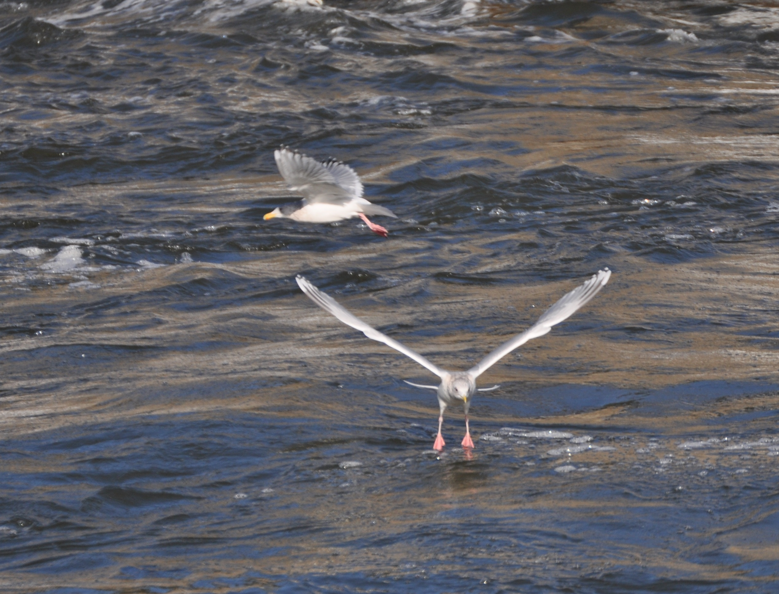 Thayers Gull- 2 adults