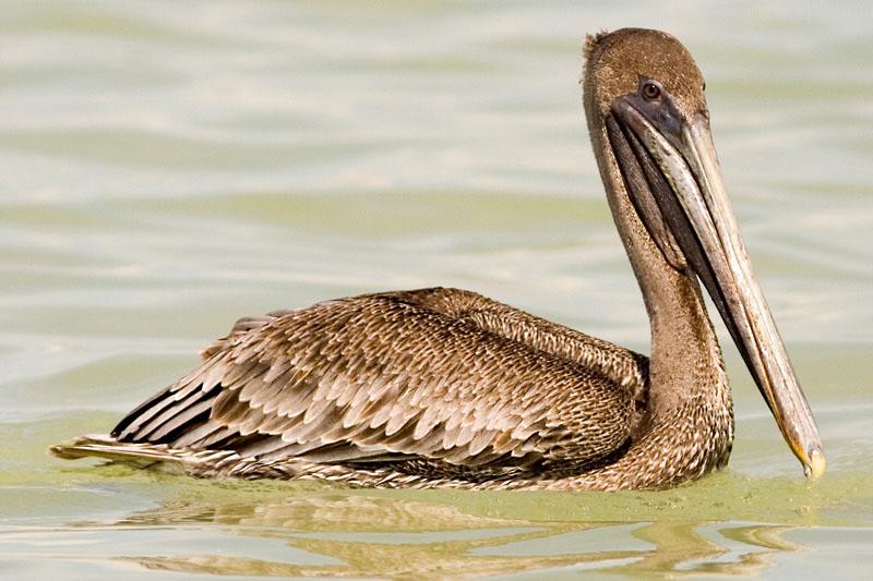 Brown Pelican - Bruine Pelikaan