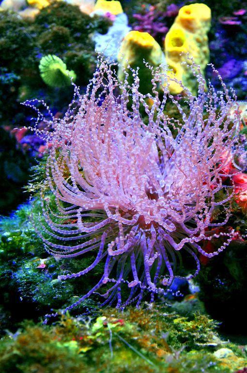 Fragile Anemone, Paraiso Coral Reef