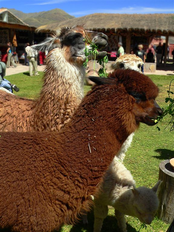 Llamas And Alpacas On Market Fare, Raqchi