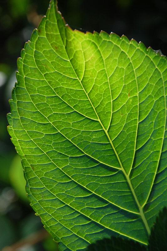 hydrangea leaf v.jpg
