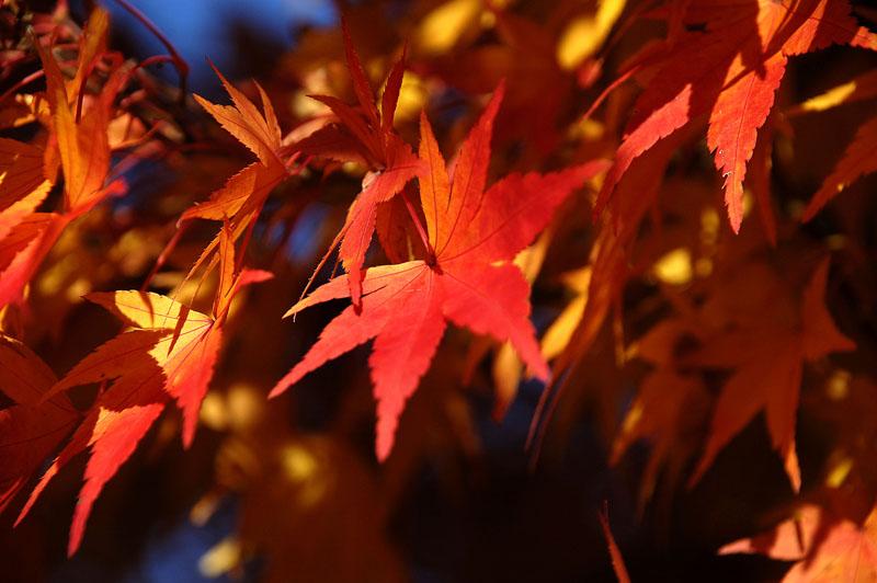 japanese maple 1 h.jpg