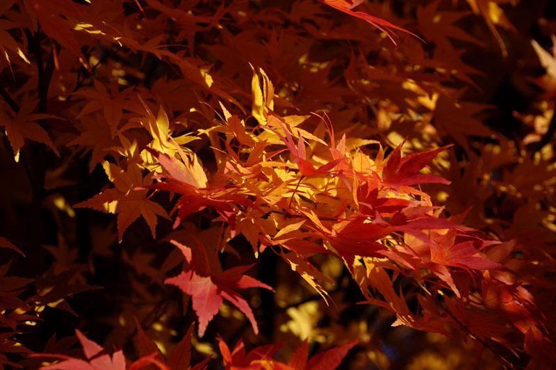japanese maple 2 h.jpg