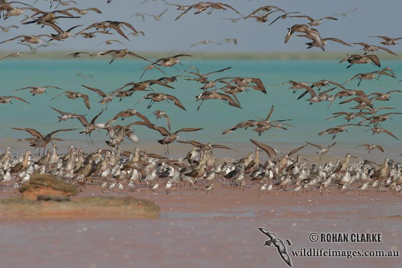 Black-tailed Godwit 9365.jpg