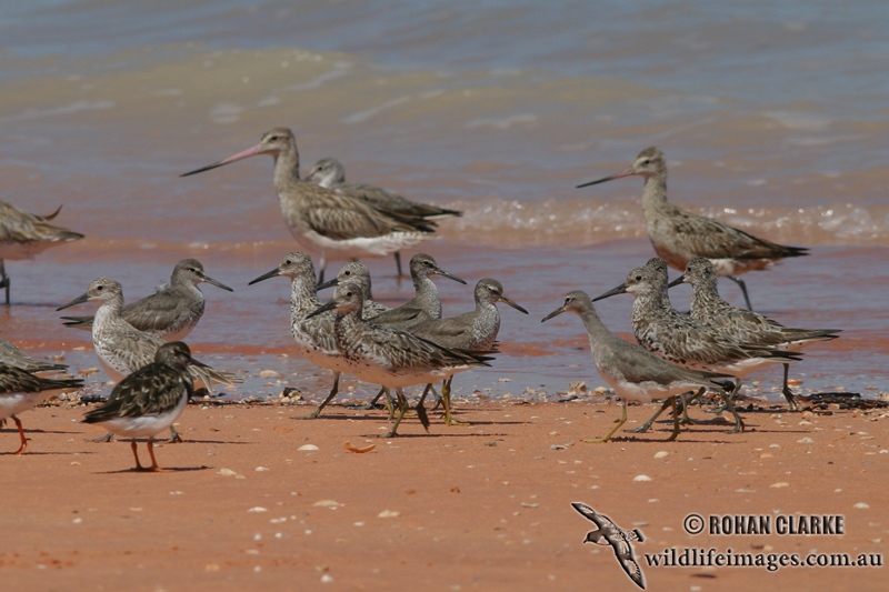 Great Knot 9130.jpg