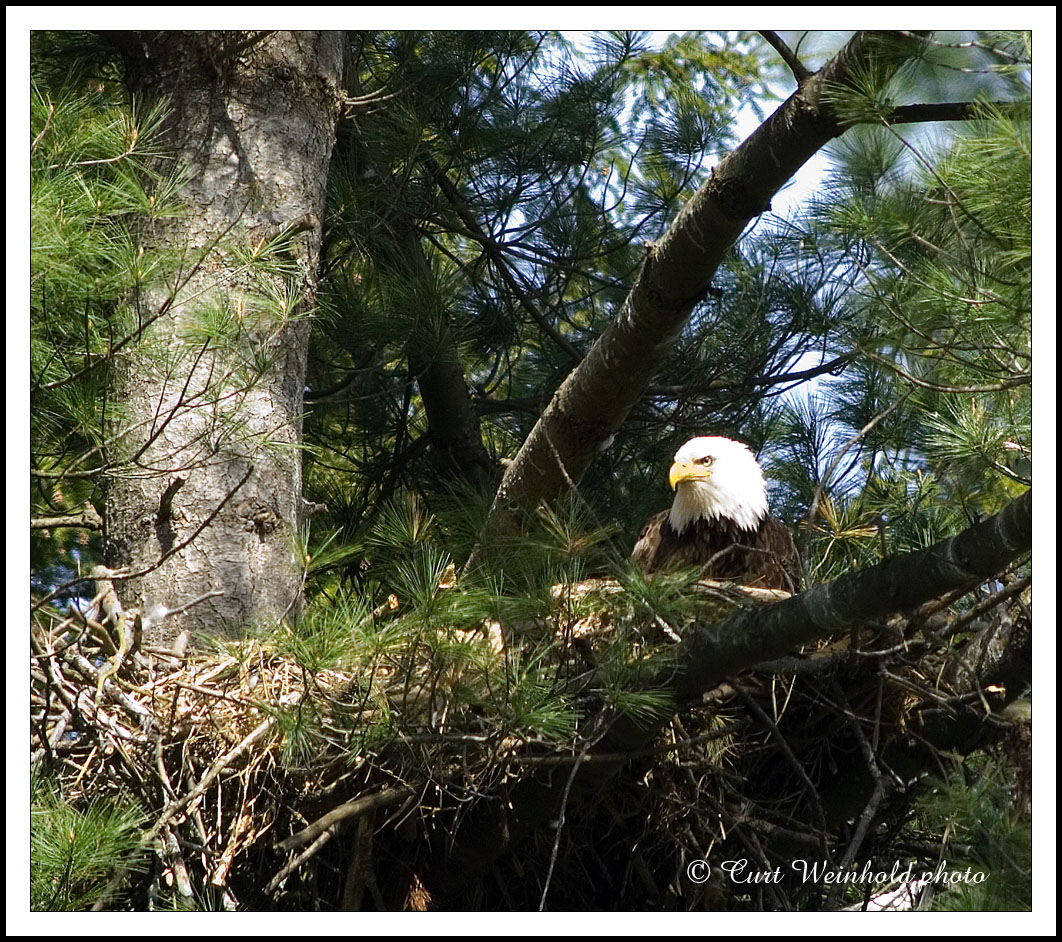 2007 adult eagle on the nest.