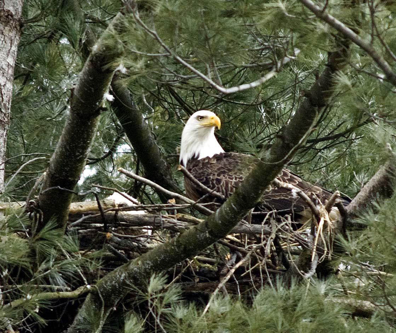 Eye of eagle