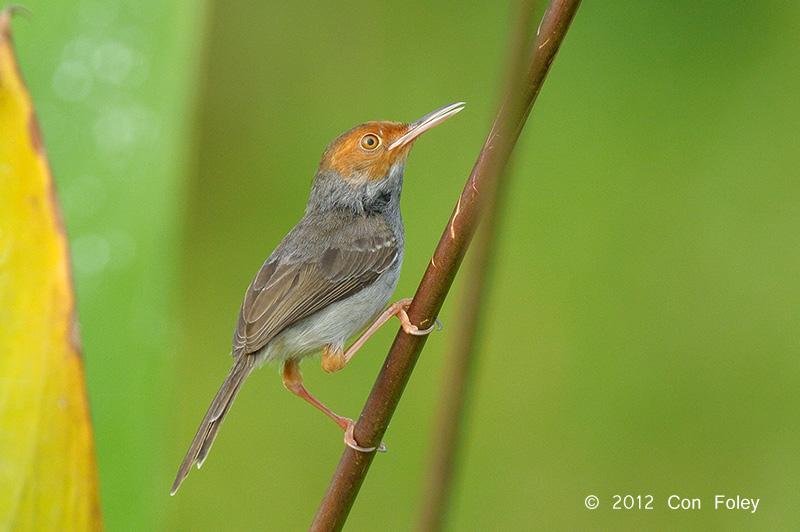 Tailorbird, Ashy (female) @ Sengkang