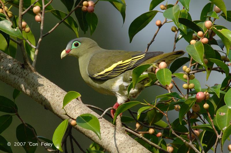Pigeon, Thick-billed Green (female) @ Tahan Hide