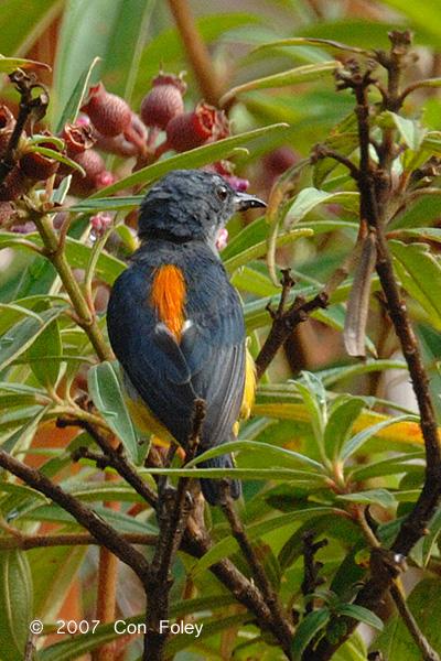 Flowerpecker, Orange-bellied (male) @ Nusa Camp