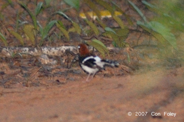 Forktail, Chesnut-naped (male) @ Nusa Camp
