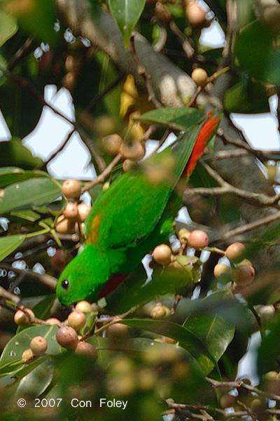 Parrot, Blue-crowned Hanging @ Tahan Hide