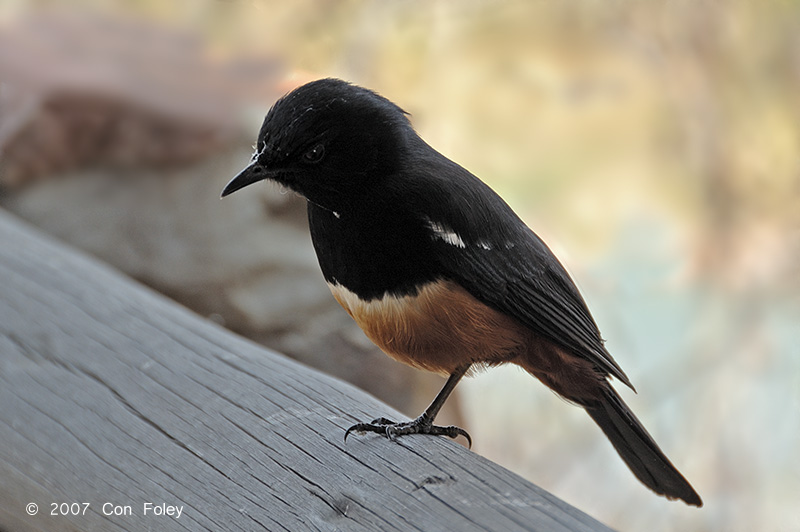 Chat, Mocking Cliff (male)