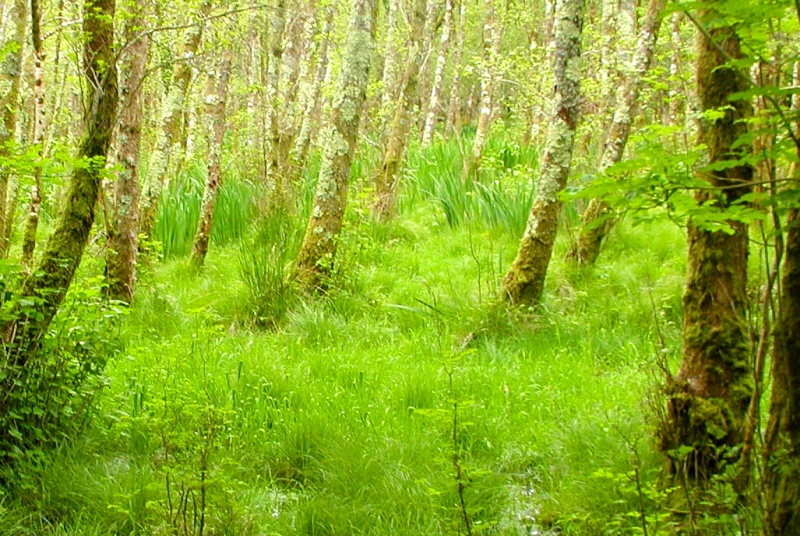 A magical forest near Killarney