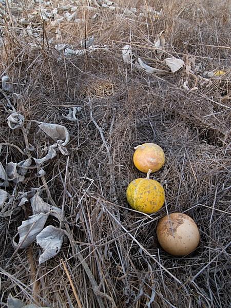 Wild Pumpkin (Calabazilla)