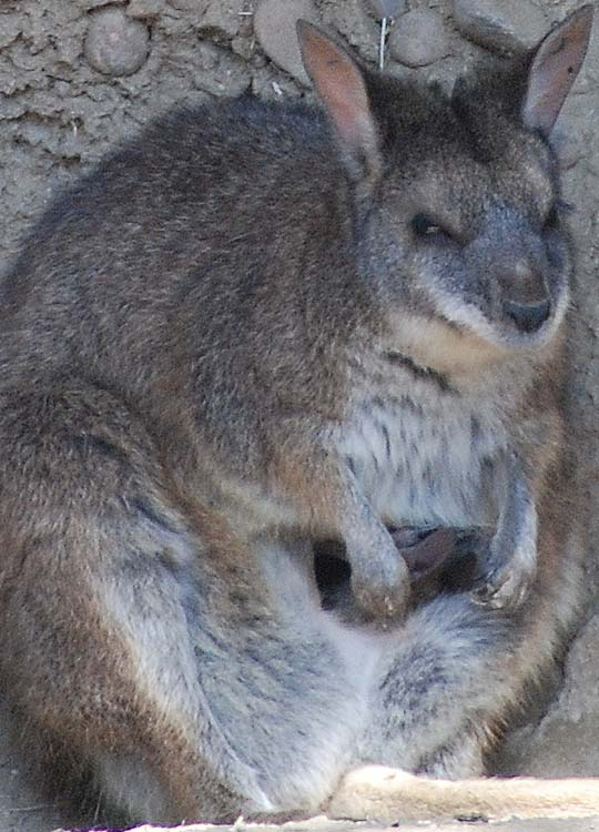 Theres a Joey in the Pouch