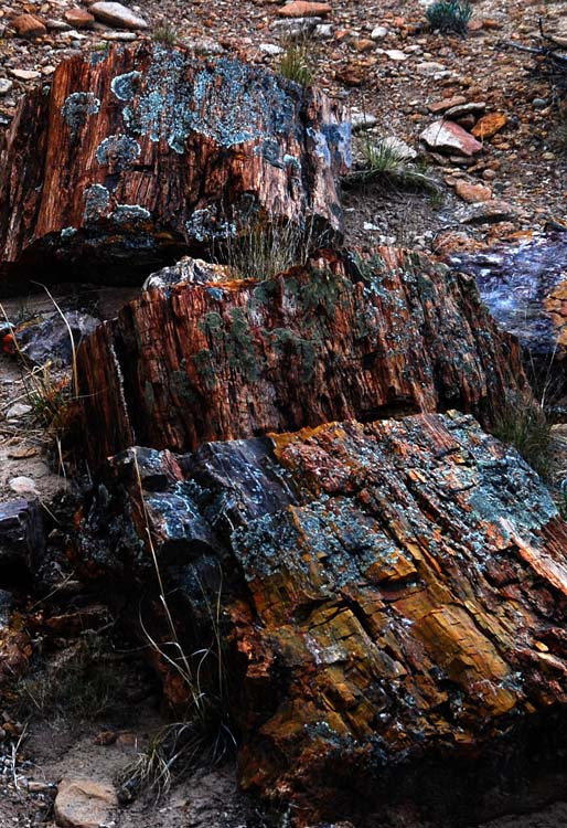 Entire Logs, Broken in the Flood, Lay Where They Landed Thousand of Years Ago