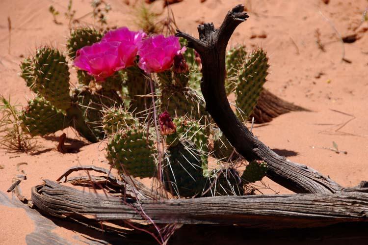 Cactus Flower - Utah