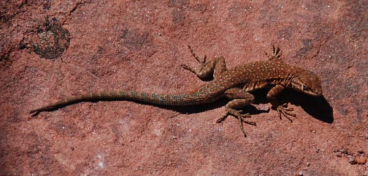 Colorful Desert Lizard - Nice Camouflage