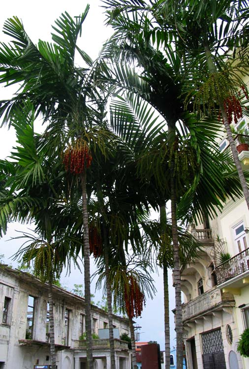 Fruiting Palms - Love the Colors of the Fruit