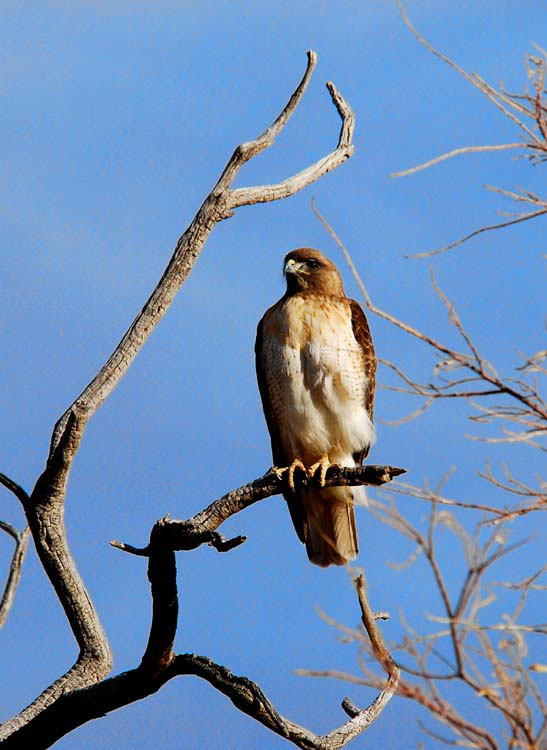 Hawk Heaven is Wintering in Arizona
