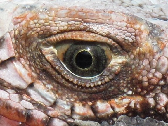 Left Eye, Iguana