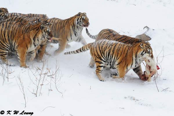 Siberian Tiger DSC_7966