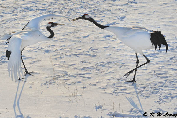 Red-Crowned Crane DSC_9636
