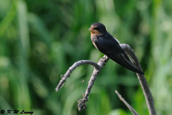 Barn Swallow DSC_7482