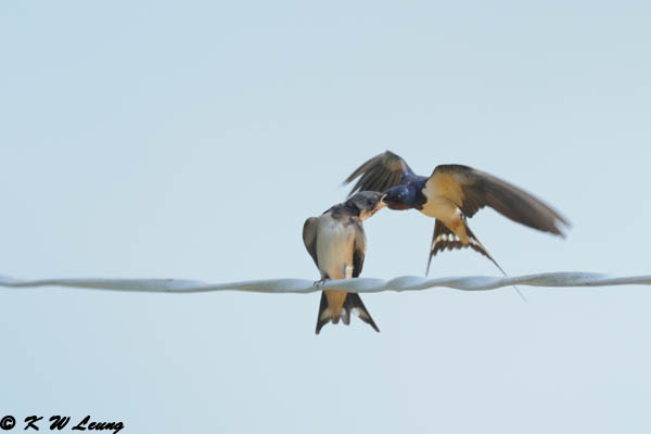 Barn Swallow DSC_7772
