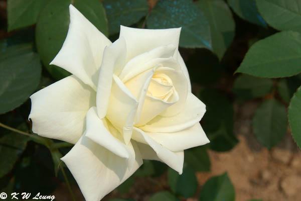 Rose 30