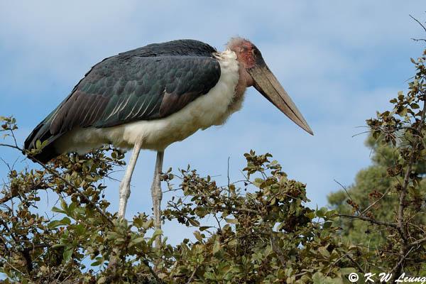 Marabou Stork 05