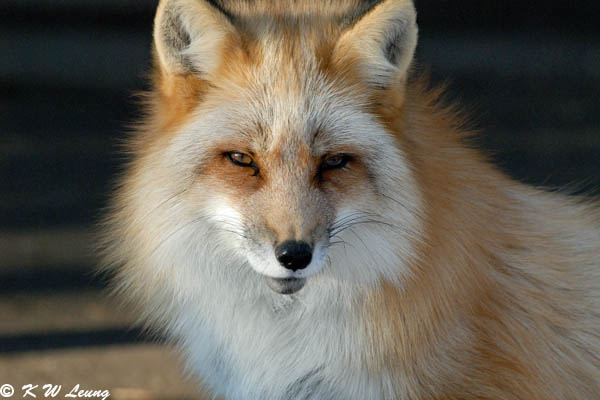 Fox (DSC_9440)
