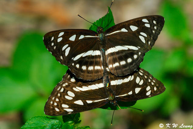 Phaedyma columella 04
