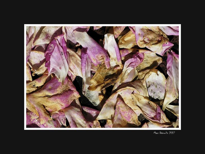 Faded petals