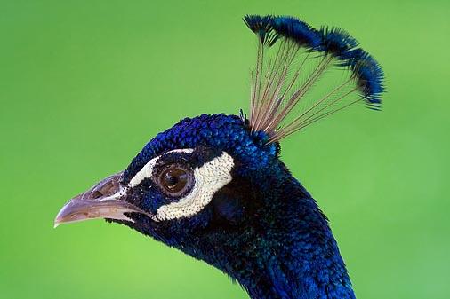 Peacock Portrait 50021