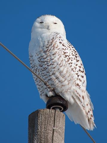 Snowy Owl 12589